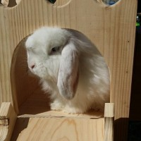 Beautiful Blue the lop bunny in a Binky Castle Tower