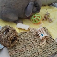 Becs bunny Oscar playing with some chew toys from rabbit toys australia
