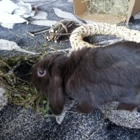 Bruno the lop eared bunny enjoying a willow chew toy