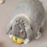 Funny looking bunny boarding playing with a carrot treat ball from rabbit toys australia