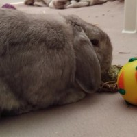 Funny Looking Rabbit Boarding with a carrot treat ball