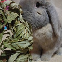 Oscar eating his natural willow wreath