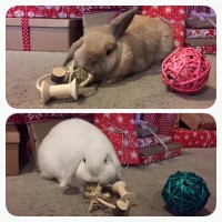 Toffee and Marshmallow with their Christmas bunny toys