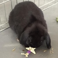 Cuddles the black lop eared bunny chewing a mini star vine chew toy by rabbit toys australia