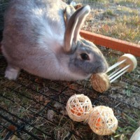 Buscuit the grey bunny chewing on a budget hay roller